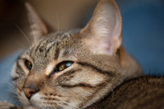 Tabby cat face Stock Images