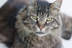 Tabby Cat. Facial Expression of Hostility. A tabby cat gives a dirty look stock photography