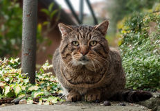 Tabby cat facing camera in garden Royalty Free Stock Photos