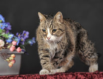 Tabby cat with flowers Stock Photos
