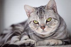 Tabby cat. A tabby cat focus at camera royalty free stock images