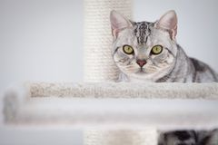 Tabby cat. A tabby cat focus at camera royalty free stock photos