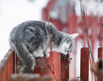 tabby cat fondled on a branch in spring on a fence in the Stock Image