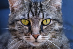 Tabby cat frontal portrait, close up against a blue background. Selected focus, very narrow depth of field Stock Images