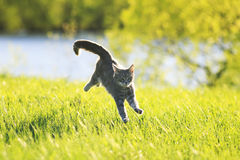 Tabby cat fun running on green meadow in Sunny day stock photography