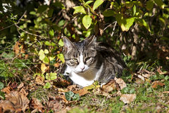 Tabby Cat. In the garden Royalty Free Stock Photography