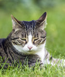 Tabby cat in the garden royalty free stock photo