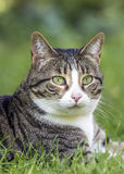 Tabby cat in the garden Stock Image