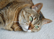 Tabby cat gazing Stock Photography