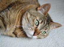 Tabby cat gazing. Tabby cat lying on carpet gazing far away Stock Photography