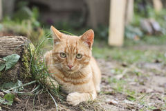Tabby Cat. Ginger tabby cat standing on grass royalty free stock images