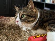Tabby Cat gorda 4 Imágenes de archivo libres de regalías