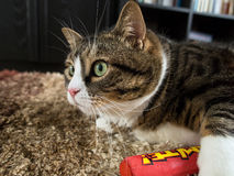 Tabby Cat gorda 4 Imagens de Stock Royalty Free