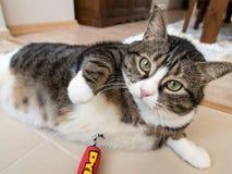 Tabby Cat gorda 1 Imagem de Stock Royalty Free