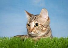 Tabby Cat in Gras Stock Afbeelding