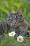 Tabby Cat in Gras Royalty-vrije Stock Foto's