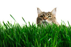 Tabby cat in grass. Isolated on white background royalty free stock image