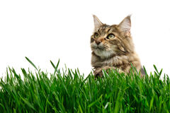 Tabby cat in grass Stock Images