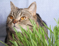 Tabby cat in grass on blue background Stock Image