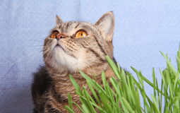 Tabby cat in grass on blue background Stock Photography