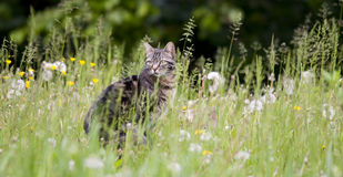 Tabby cat in the grass and dandelion Royalty Free Stock Images