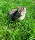 Tabby cat on  grass Royalty Free Stock Photography