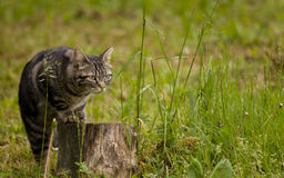 Tabby cat in the grass Royalty Free Stock Images