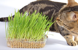 Tabby cat and grass on white background Royalty Free Stock Photos