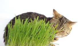 Tabby cat in grass on white background Royalty Free Stock Photos