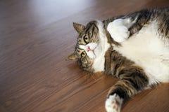 Tabby Cat grassa Fotografie Stock