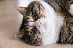 Tabby Cat grassa 7 Fotografie Stock Libere da Diritti