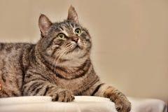 Tabby Cat grassa fotografia stock