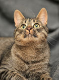 Tabby cat on a gray Stock Photography