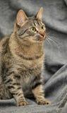 Tabby cat on a gray Royalty Free Stock Photos