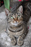 Tabby cat on gray background Royalty Free Stock Image