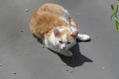 Tabby cat. On gray roof stock image