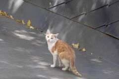 Tabby cat. On gray roof royalty free stock images
