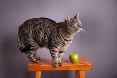 Tabby cat with green apple Stock Image