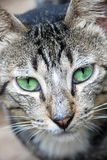 Tabby cat with green eyes Stock Images