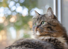 Tabby Cat with Green Eyes royalty free stock photos