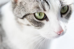 Tabby cat with green eyes Royalty Free Stock Image