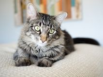 Tabby Cat with Green Eyes On Cream Sheets. Sweet tabby cat  on a bed with cream sheets and big beautiful eyes Royalty Free Stock Images
