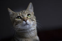 Tabby cat with green eyes. And dark background Royalty Free Stock Photo