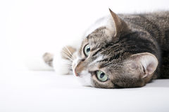 Tabby Cat. With green eyes lies in front of a white background Royalty Free Stock Photo