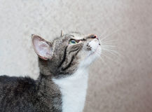 Tabby cat with green eyes looking up Stock Image
