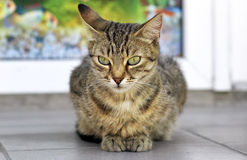 Tabby cat with green eyes Stock Photo