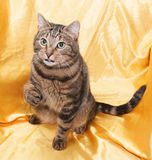 Tabby cat with green eyes sitting with his tongue out and lifted Stock Photos