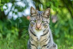 Tabby Cat in green grass on a late spring afternoon. Young green-eyed Mackerel Tabby Cat frolics in the grass on a late spring afternoon.  Stray cat in green royalty free stock photos