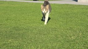 Tabby cat in the green grass. Tabby cat with yellow eyes walking straight on the green grass, isolated on green background stock footage