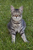 Tabby Cat. A grey tabby cat is looking at the lens royalty free stock photos